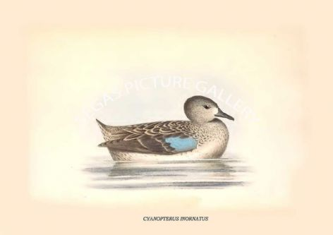 Fine art print of the CYANOPTERUS INORNATUS by Philip Henry Goose (1849)
